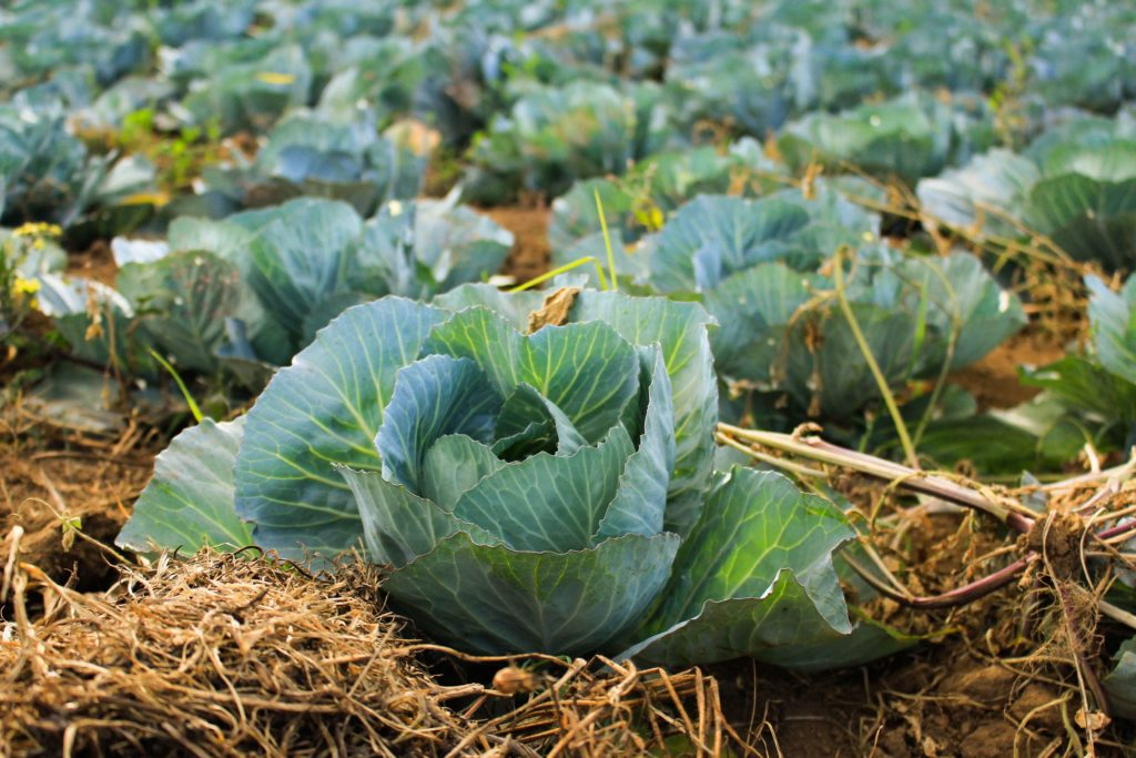 Fresh Vegetables on Farm